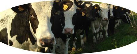051audierne.info.vaches_beuzec5.jpg